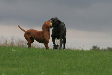 dogs playing fetch